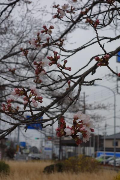 栃木県小山市 桜