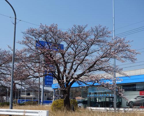 桜 栃木県小山市