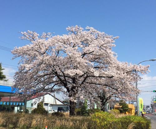 桜満開 栃木県小山市